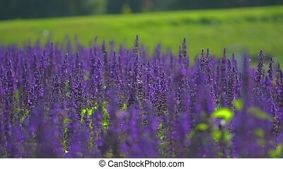 Sage purple flowers