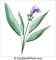Sage. Salvia. Meadow flower. Vector illustration.