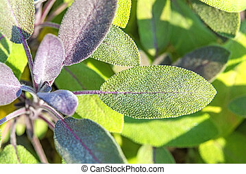 sage, Salvia officinalis with dew drops