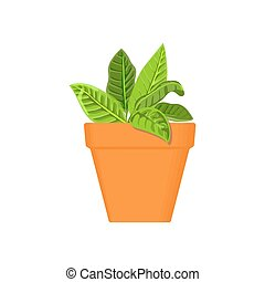 sage vector culinary herb in terracotta pot. Green growing....