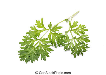 sagebrush - Artemisia absinthium branch isolated on white