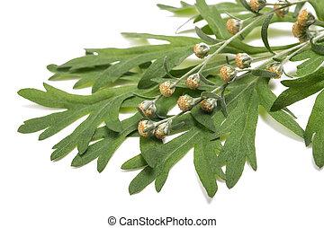 Sagebrush - Artemisia absinthium flowers and leaves isolated...