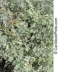 Sagebrush. Grass for absinthe, wormwood. Artemisia ...
