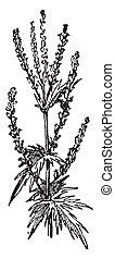 Sagebrush, vintage engraving. - Sagebrush, vintage engraved ...