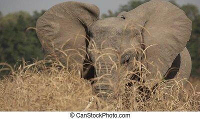 s'agiter, buisson, élevé, oreilles, derrière, éléphant