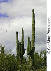 Saguaro and Eagle