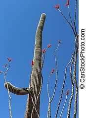 Saguaro and Ocotillo Cactus