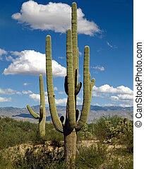 Saguaro, Arizona