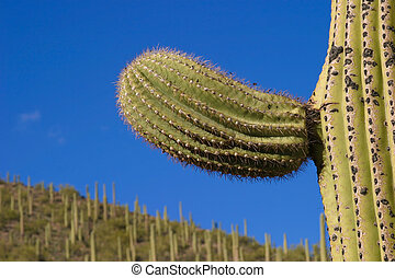 saguaro, arm, detail