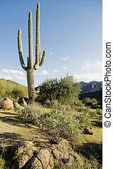 saguaro, boompje, cactus, woestijn