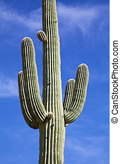Saguaro Cactus - a saguaro cactus against a blue sky