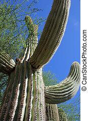 Saguaro Cactus at Desert Botanical Garden Phoenix, AZ