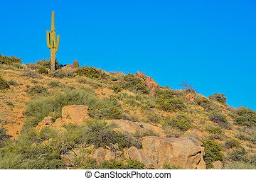 Saguaro Cactus (Carnegiea Gigantea) at the Tonto National ...