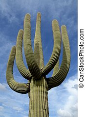 Saguaro Cactus (Carnegiea gigantea) with Many Arms in ...