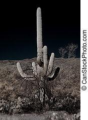 Cereus giganteus Saguaro cactus in the summer Arizona desert
