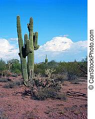 Saguaro Cactus cereus giganteus in Arizona desert