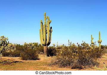 Saguaro Cactus cereus giganteus in Arizona Sonora desert
