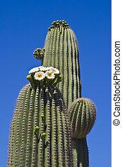 Saguaro Cactus Flowers, Sonoran Desert, Tucson, Arizona