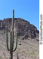 Saguaro Cactus in Arizona Park