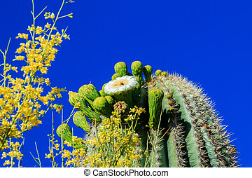 Saguaro Cactus in Bloom, Arizona