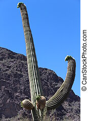 Saguaro Cactus in Spring in Arizona