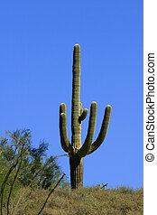 Saguaro Cactus - Multi branched saguaro cactus in the...