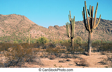 Saguaro cactus in the Arizona Mountains - 26 megapixel image shot on film - as scanned edge cropping and spotting only. Film grain apparent at this large size