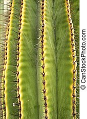 Saguaro, Carnegiea gigantea cactus in the garden under the ...