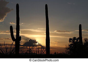 saguaro, coucher soleil
