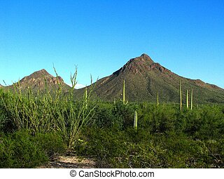 saguaro, désert