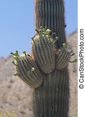 saguaro, flor, cacto
