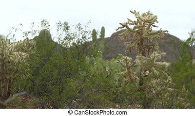 Saguaro, Prickly Pear and Cholla Cacti - Steady, medium wide...