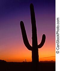 A saguaro cactus, in Saguaro Cactus National Monument, Arizona, photographed after sunset.