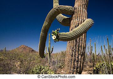 Saguaros in Bloom