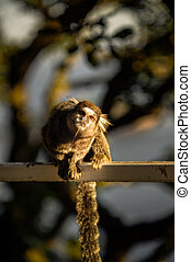 Sagui Monkeys are friendly hand sized little monkeys that...
