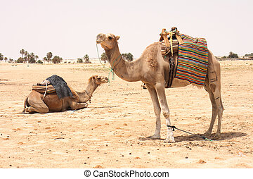 sahara with two camels from the tunisia