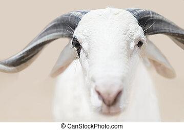 Sahelian Ram with a white coat