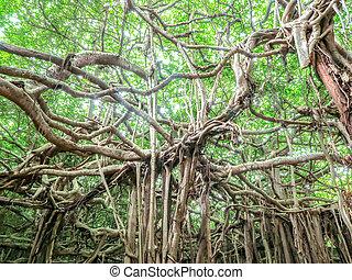 sai, ngam, banyan träd, in, phimai, område, nakhon, ratchasima, thailand