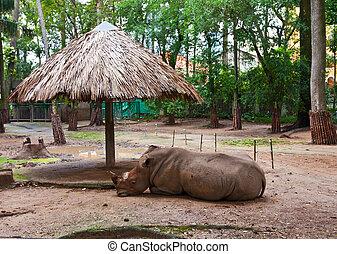 saigon, (ceratotherium, simum), zoo, rinoceronte, blanco