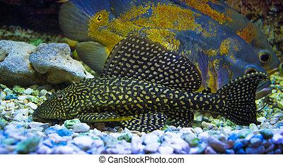 Sailfin Pleco fish