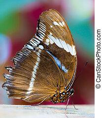 sailor butterfly