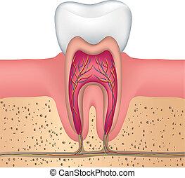 sain, anatomie, dent blanche
