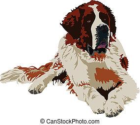 Saint Bernard dog breed on a white background