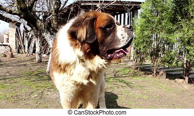 Saint bernard dog in the back yard