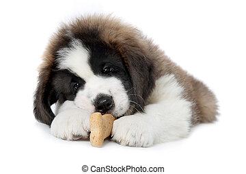 Saint Bernard Puppy Enjoying a Treat on White Background