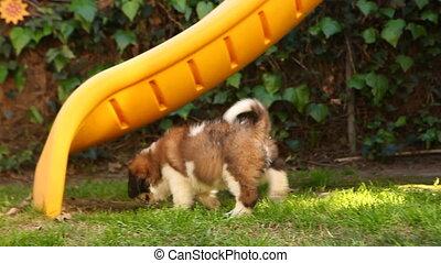 Saint Bernard Puppy Roaming in the - Handheld Shot of ...