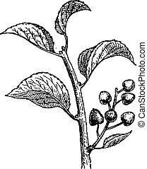 Saint Lucie Cherry or Prunus mahaleb, vintage engraving