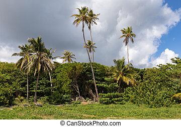 Sainte-Anne, Martinique, FWI - Coconut palm tree in Anse Michel