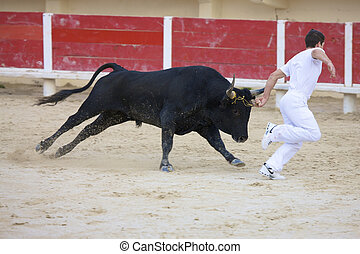 Saintes Maries de la Mer, La Camargue, Provence, France, Europe - october 29, 2008: one single bull at a fight with matador in the arena of Saintes Maries de la Mer, La Camargue, Provence, France, Europe