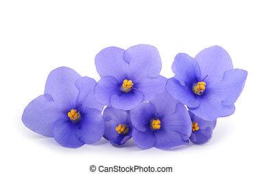 saintpaulia, (african, violets)
